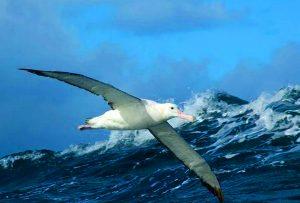 Альбатрос летит над морем